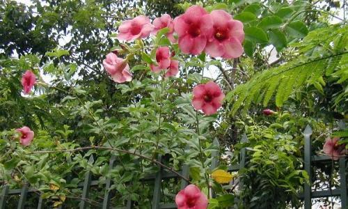 Alamanda Yearly Blooming Flowers