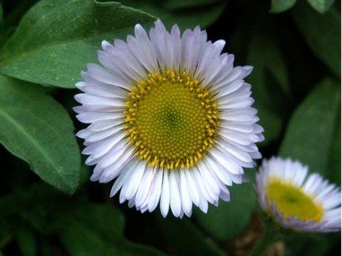Daisy Common Flowers