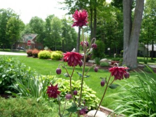 Flower of Fuchsia Plants