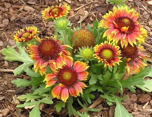 gaillardia flower pot decoration