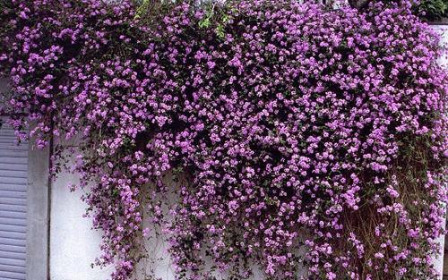 lantana flower pot decoration