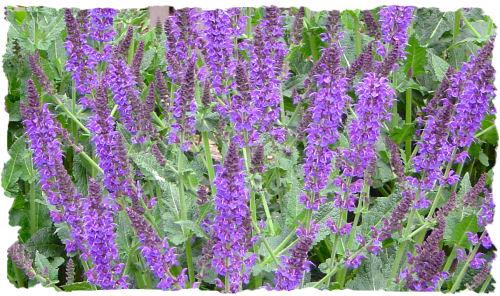 Purple Garden: Salvia