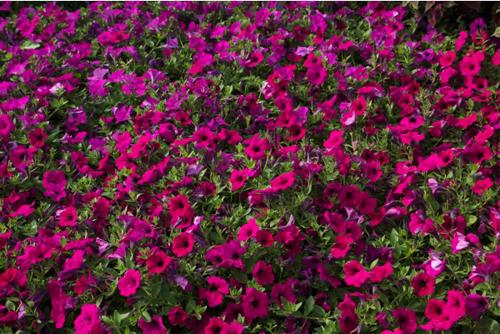 Purple Garden: wave petunia