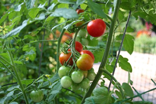 Ideas for a Vegetable Garden with Tomato